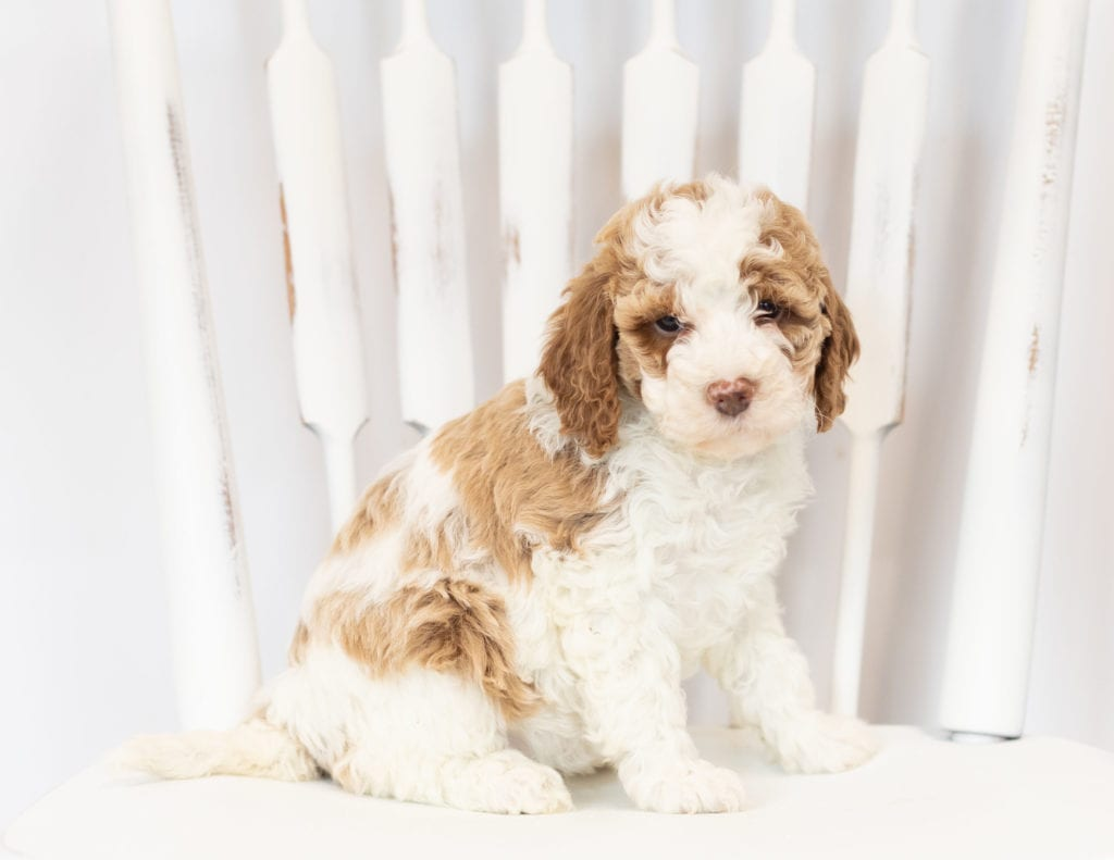 Mini Goldendoodles with hypoallergenic fur due to the Poodle in their genes. These Goldendoodles are of the F1B generation. For more info on generations, view our specific breed page for Goldendoodles.