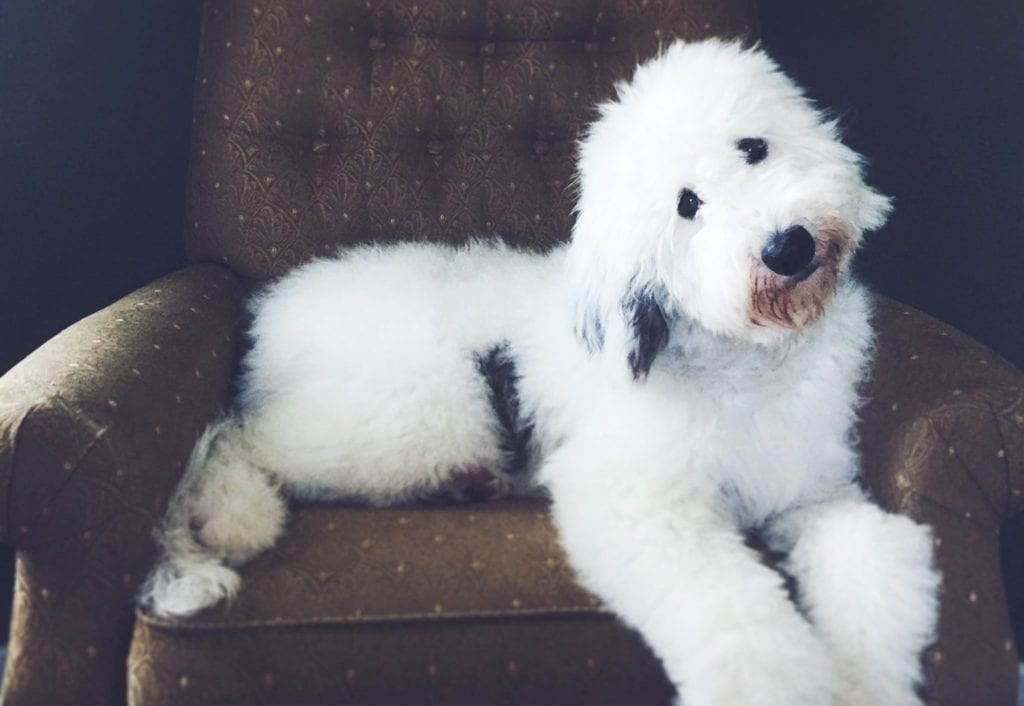 A cute Standard Sheepadoodle with his head tilted relaxing on a couch