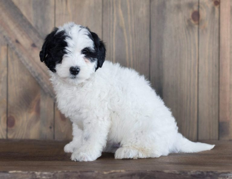 This was one of our Sheepadoodle Puppies For Sale last spring!