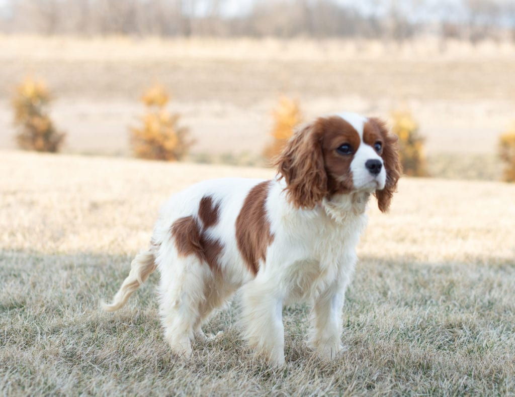 Daisy is an  King Charles Cavalier and a mother here at Poodles 2 Doodles, Sheepadoodle and Bernedoodle breeder from Iowa