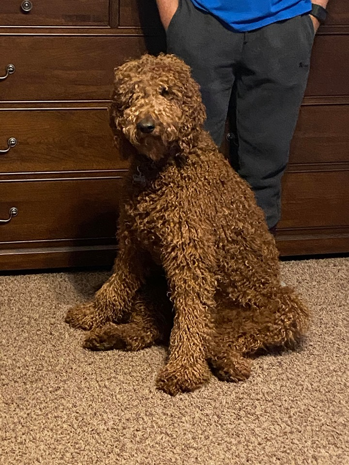 A picture of one of our Irish Doodle mother's, Hadley.