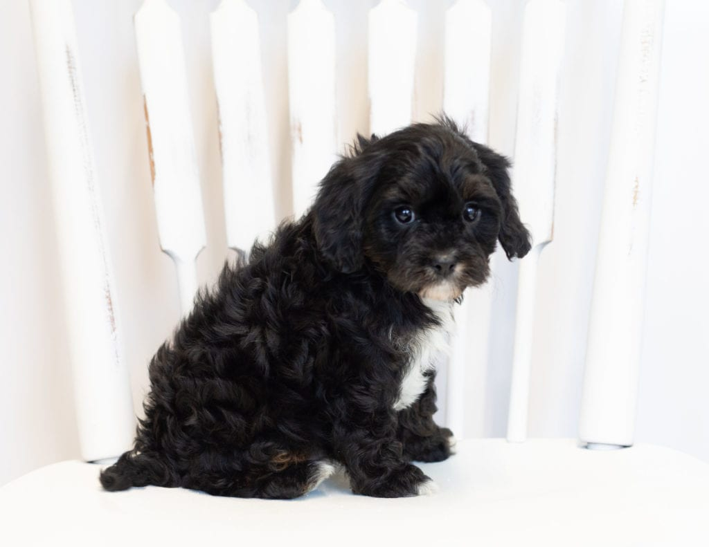 Norton came from Bella and Reggie's litter of F1 Cavapoos