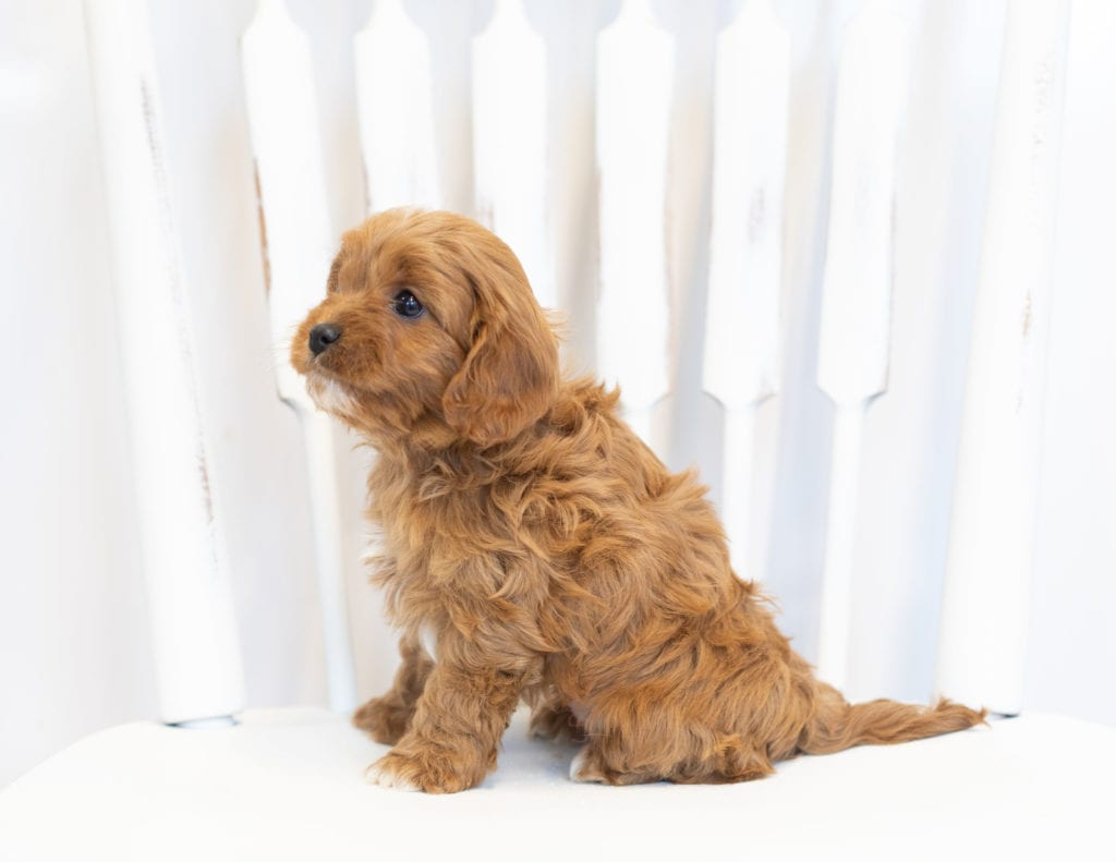 Nelly came from Bella and Reggie's litter of F1 Cavapoos