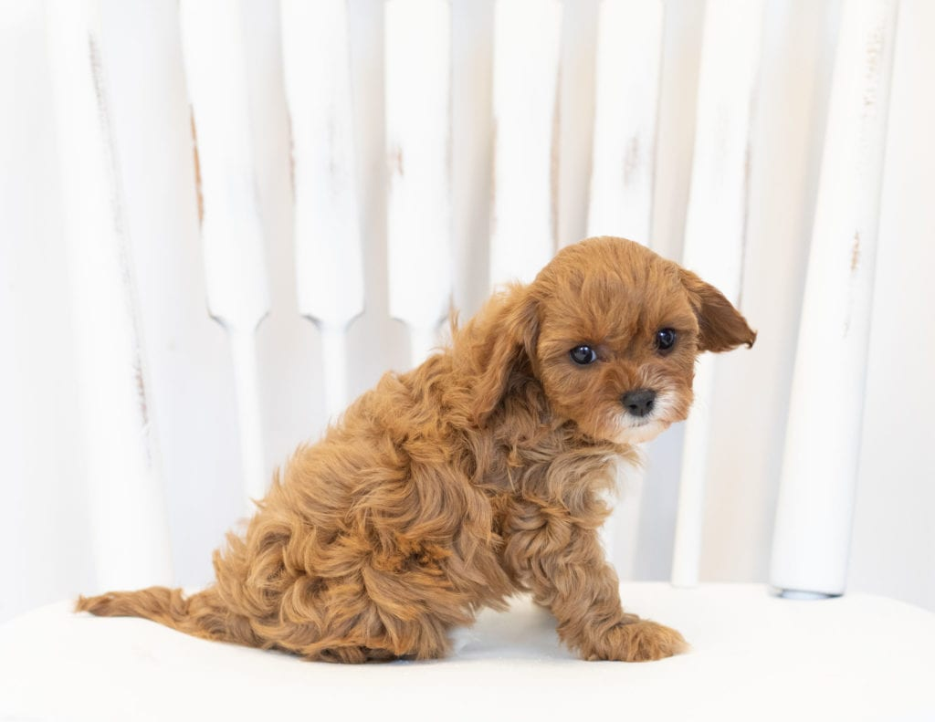 Nora came from Bella and Reggie's litter of F1 Cavapoos