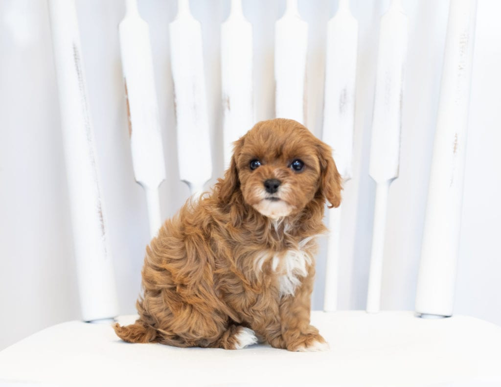 A picture of a Nora, one of our Petite Cavapoos puppies that went to their home in Minnesota