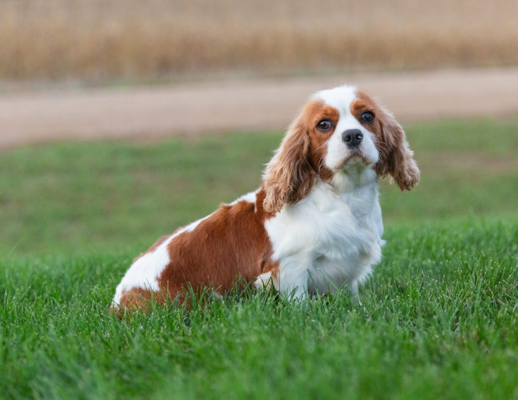 A picture of one of our King Charles Cavalier mother's, Lucy.