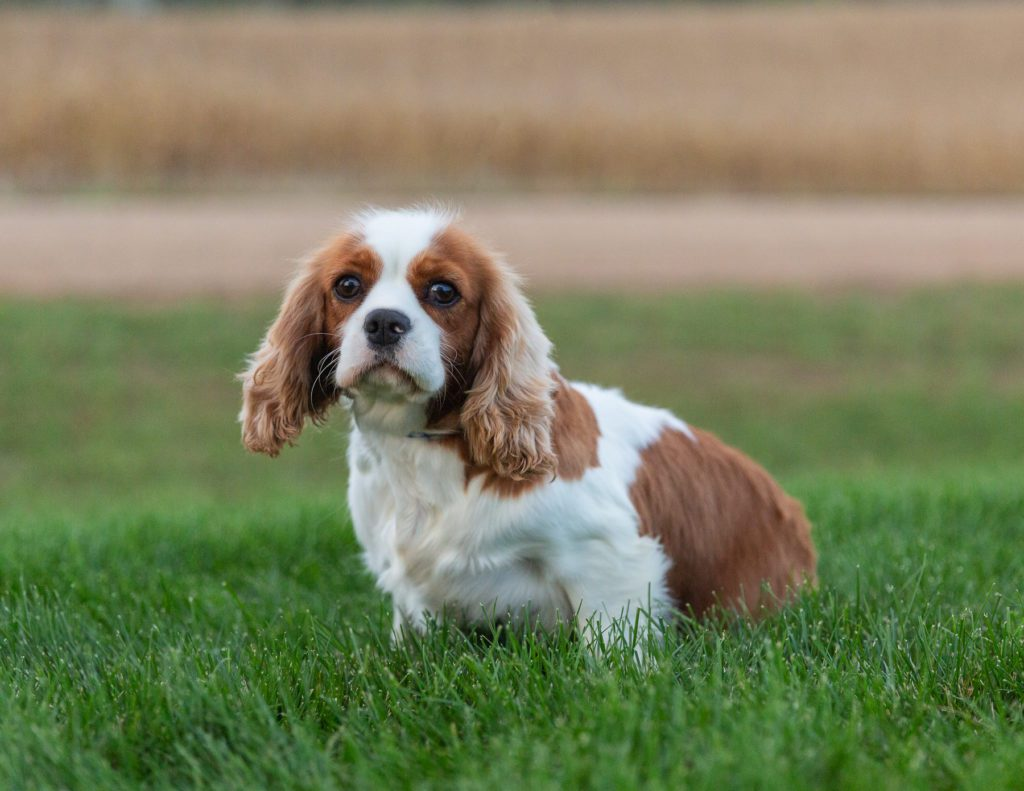 Lucy is an  King Charles Cavalier and a mother here at Poodles 2 Doodles, Sheepadoodle and Bernedoodle breeder from Iowa