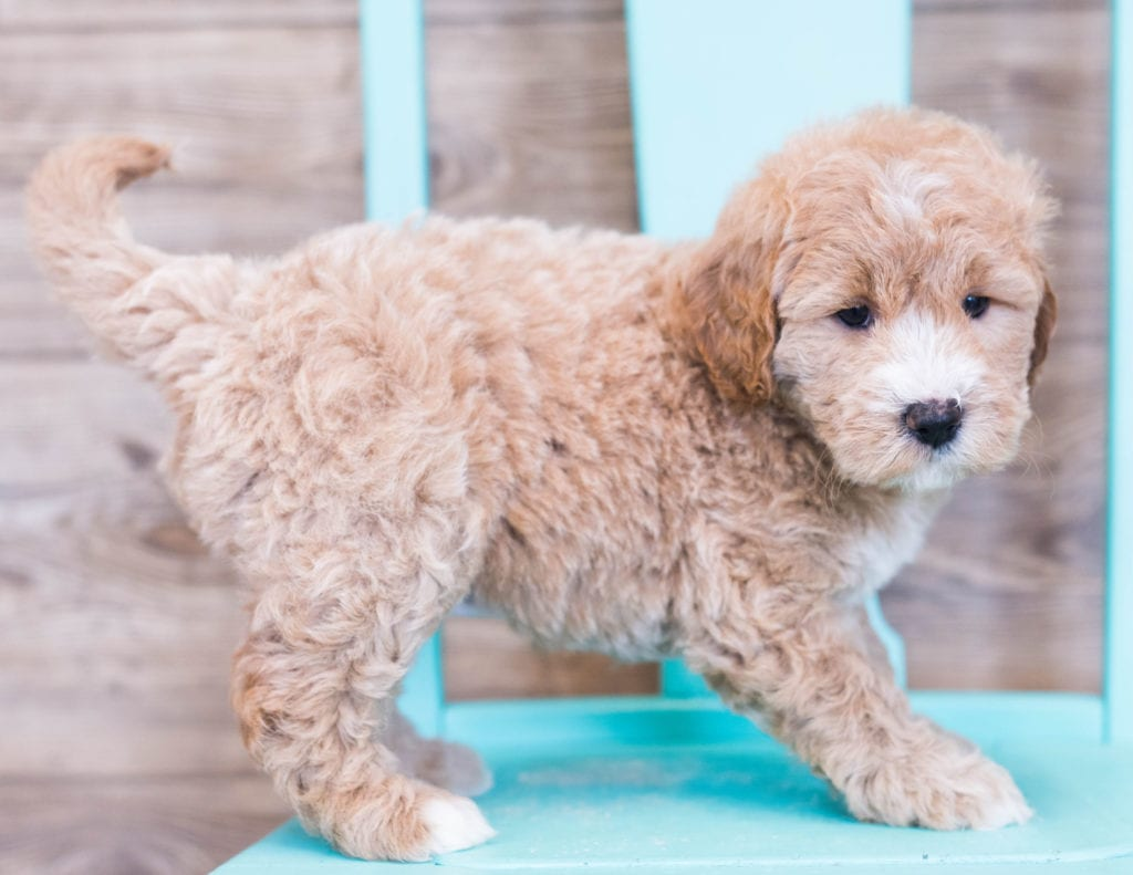 Olivia came from KC and Milo's litter of F1 Goldendoodles