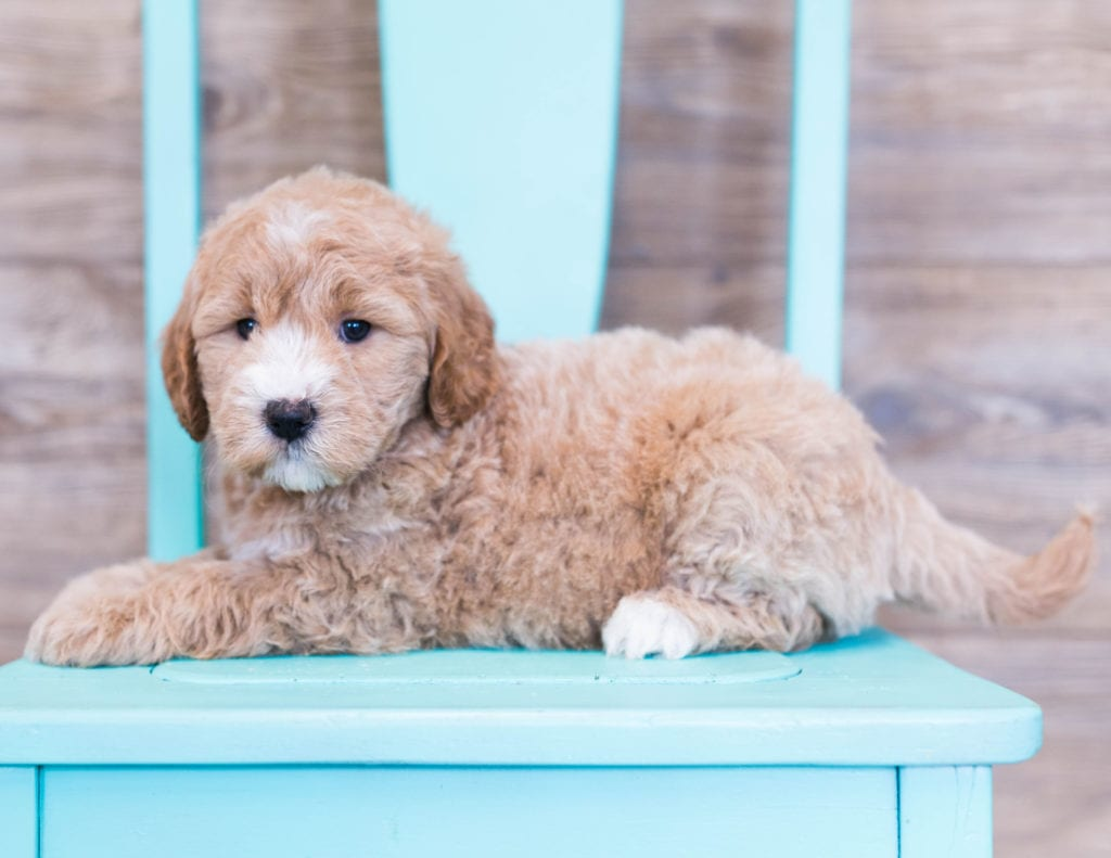 Olivia is an F1 Goldendoodle that should have  and is currently living in Iowa