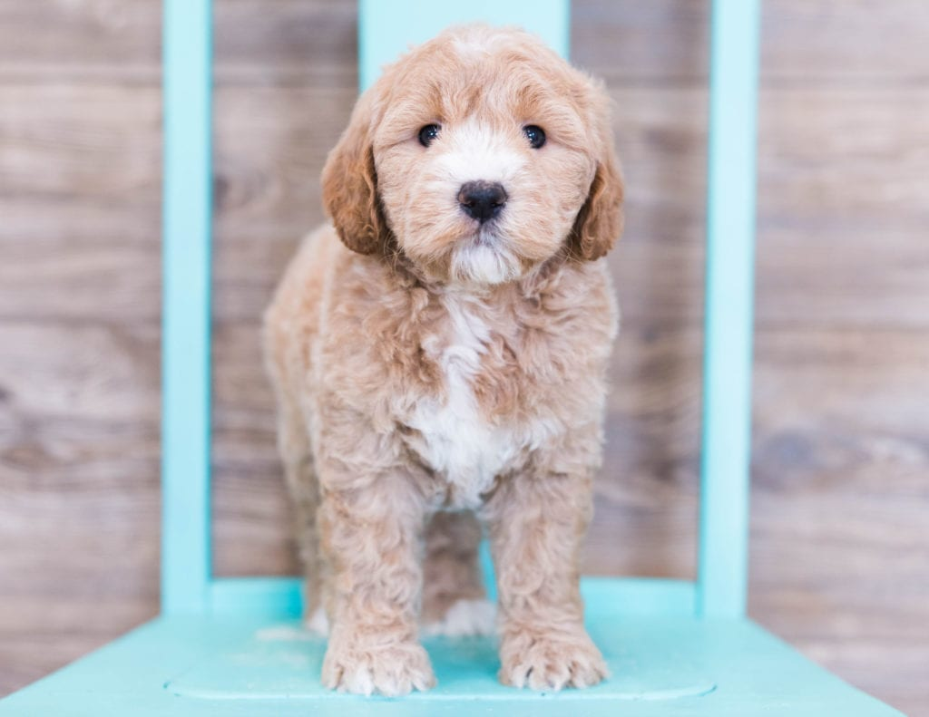 Mini Goldendoodles with hypoallergenic fur due to the Poodle in their genes. These Goldendoodles are of the F1 generation.