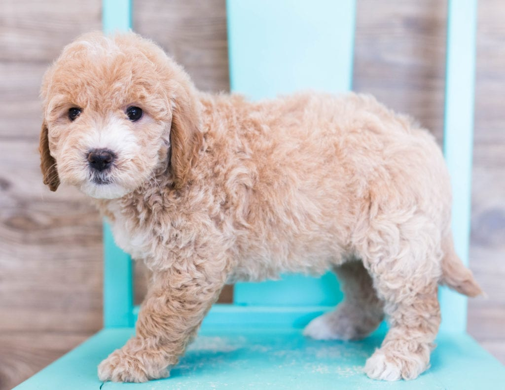 Opal is an F1 Goldendoodle that should have  and is currently living in Illinois