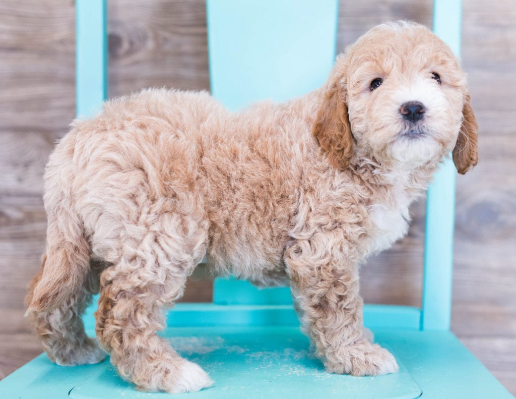 A picture of a Opal, one of our Mini Goldendoodles puppies that went to their home in Illinois