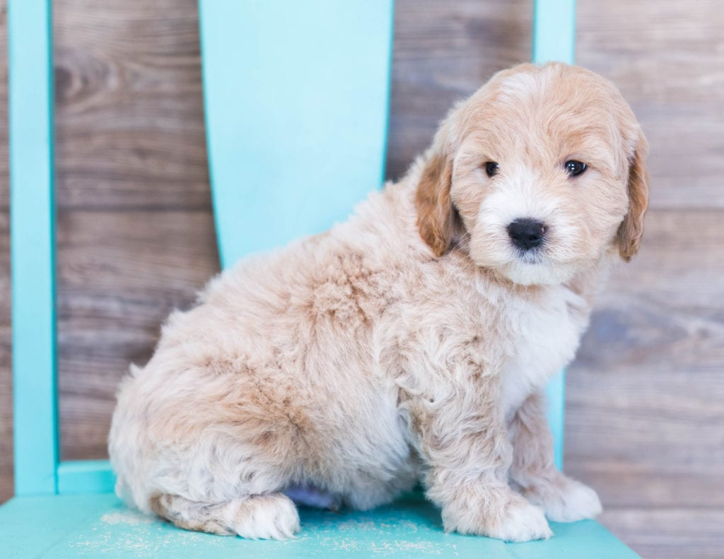Oakleigh is an F1 Goldendoodle that should have  and is currently living in Nebraska