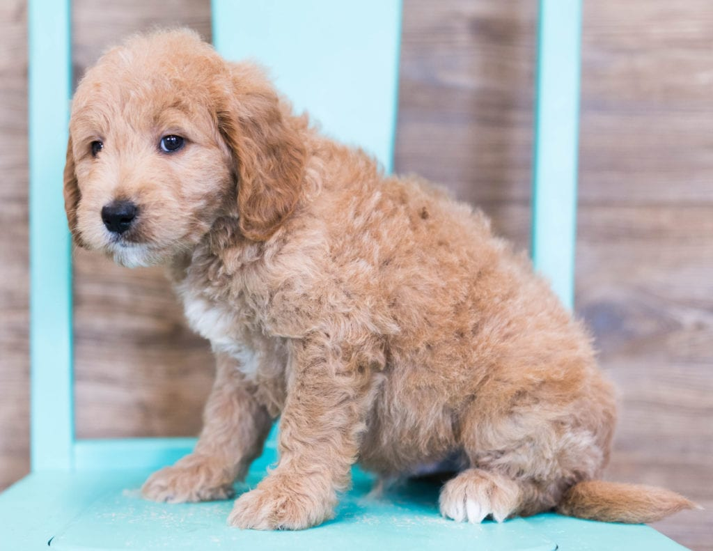 Oatmeal came from KC and Milo's litter of F1 Goldendoodles