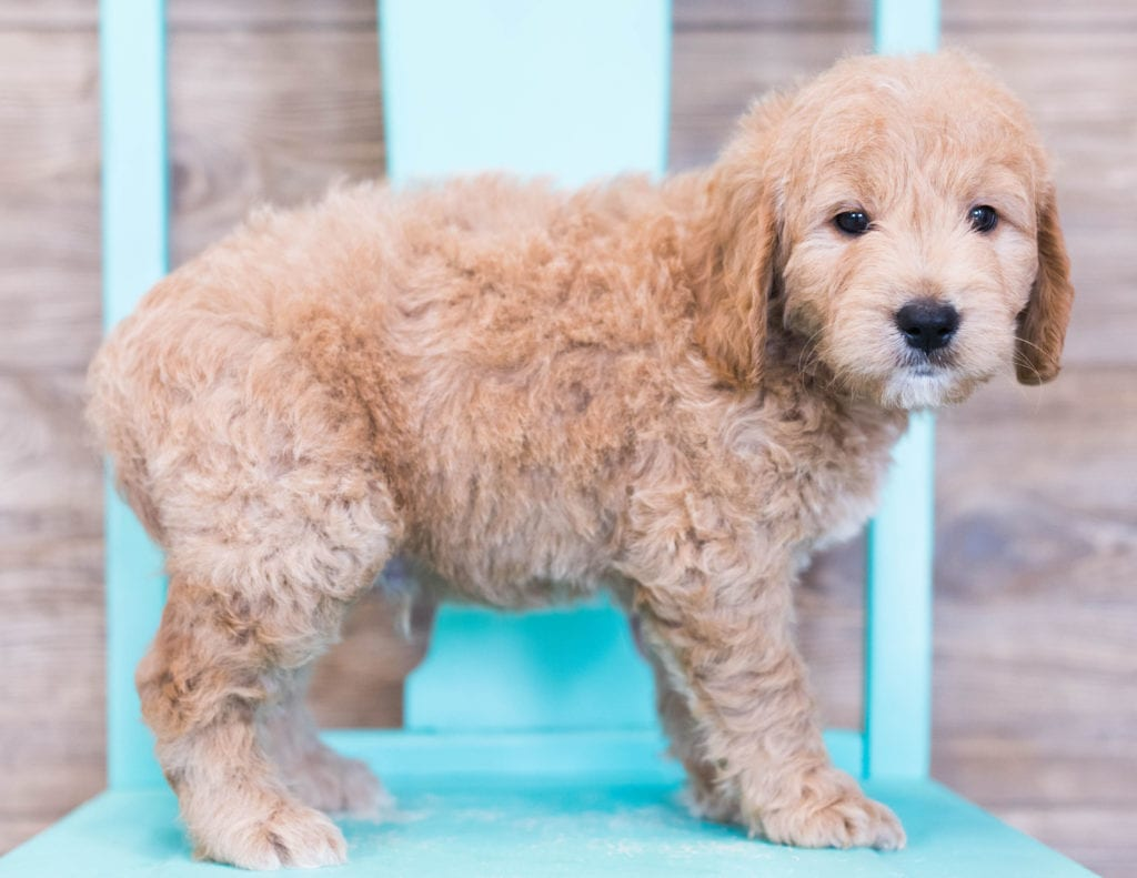 Oatmeal is an F1 Goldendoodle that should have  and is currently living in Illinois
