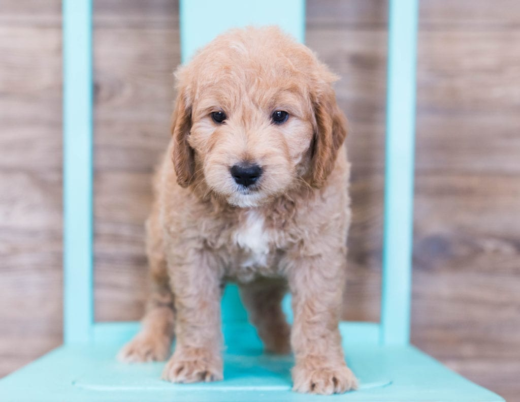 A picture of a Oatmeal, one of our Mini Goldendoodles puppies that went to their home in Illinois