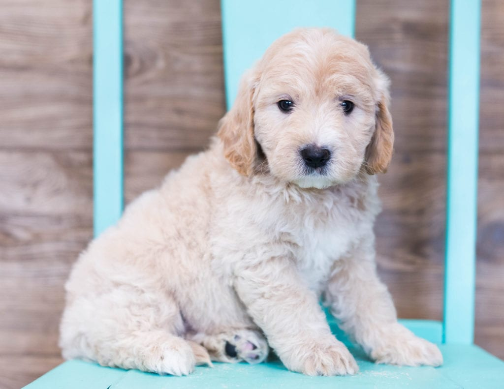 A picture of a Oddie, one of our Mini Goldendoodles puppies that went to their home in Iowa
