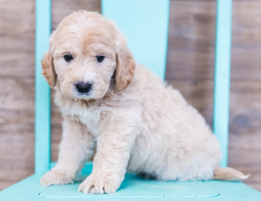 Oddie is an F1 Goldendoodle that should have  and is currently living in Iowa
