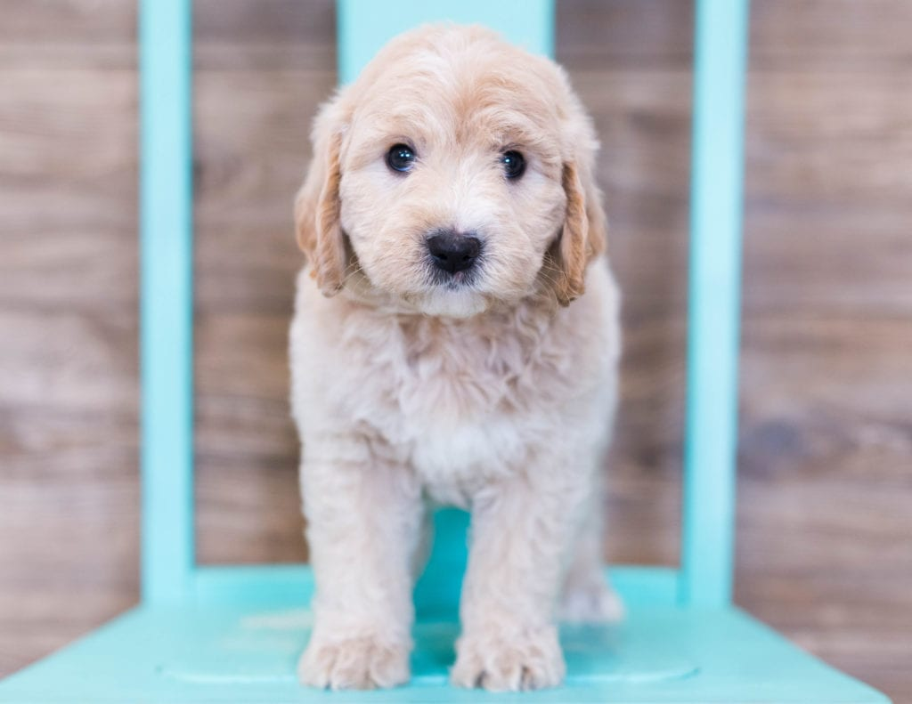 Oddie came from KC and Milo's litter of F1 Goldendoodles