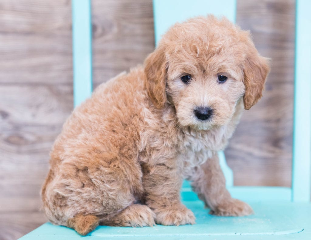 These Goldendoodles were bred by Poodles 2 Doodles, their mother is KC and their father is Milo