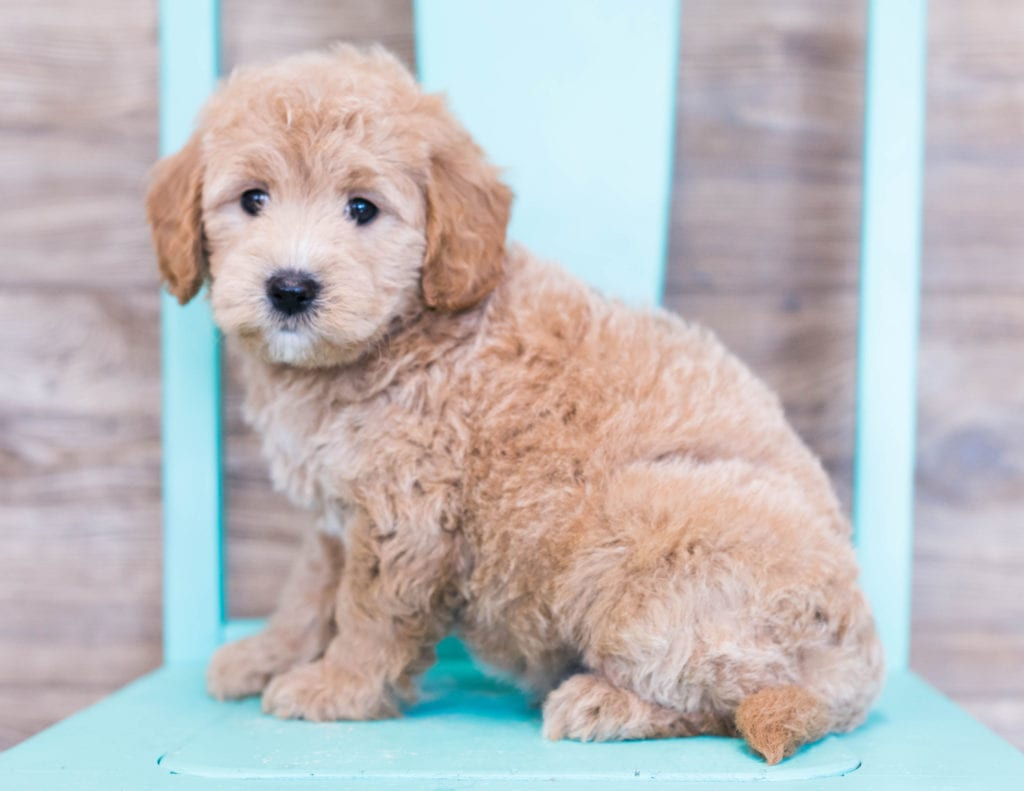 A picture of a Oden, one of our Mini Goldendoodles puppies that went to their home in Illinois