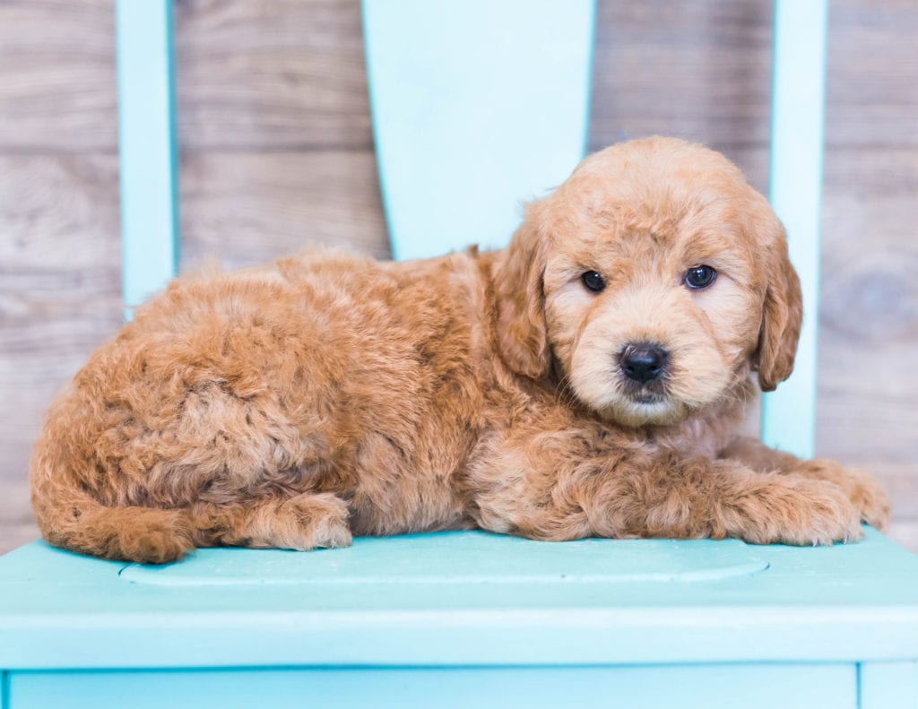 Omar came from KC and Milo's litter of F1 Goldendoodles