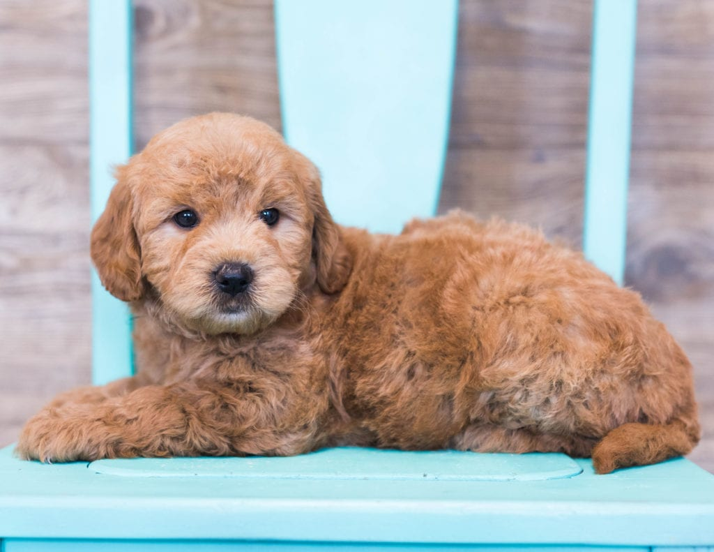 Omar is an F1 Goldendoodle that should have  and is currently living in Iowa