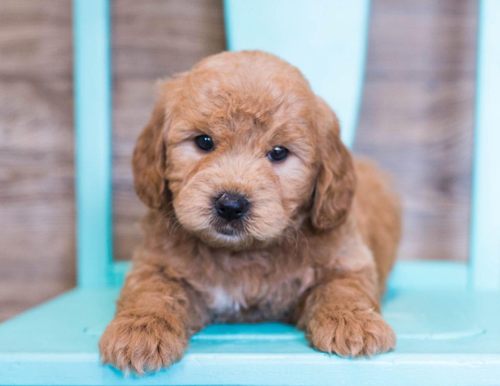 A picture of a Omar, one of our Mini Goldendoodles puppies that went to their home in Iowa
