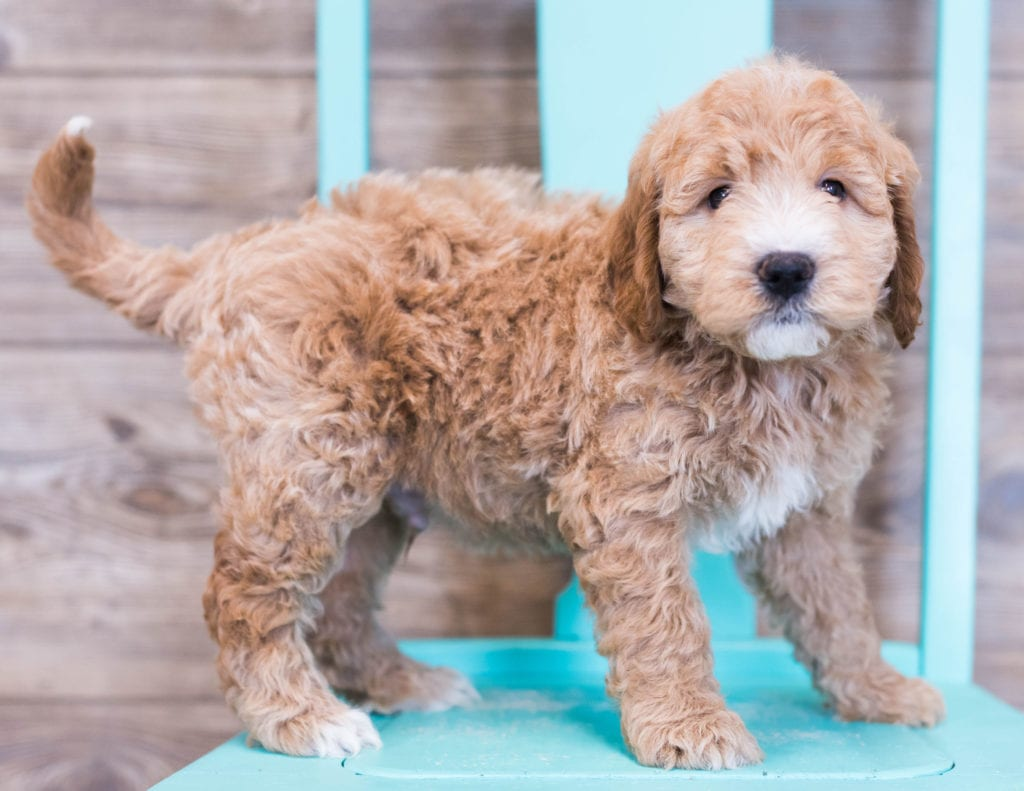 Oscar is an F1 Goldendoodle that should have  and is currently living in Iowa