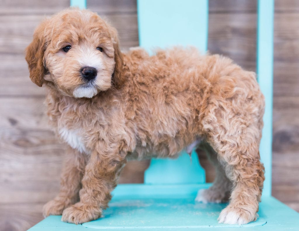 Oscar came from KC and Milo's litter of F1 Goldendoodles