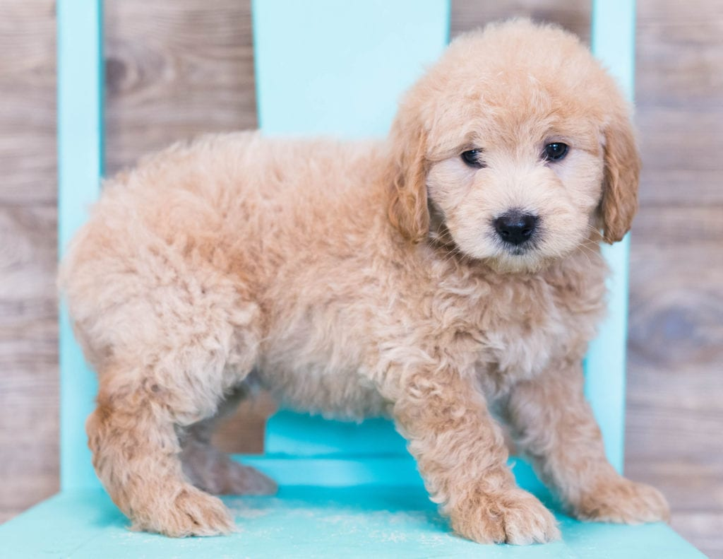 Otis came from KC and Milo's litter of F1 Goldendoodles
