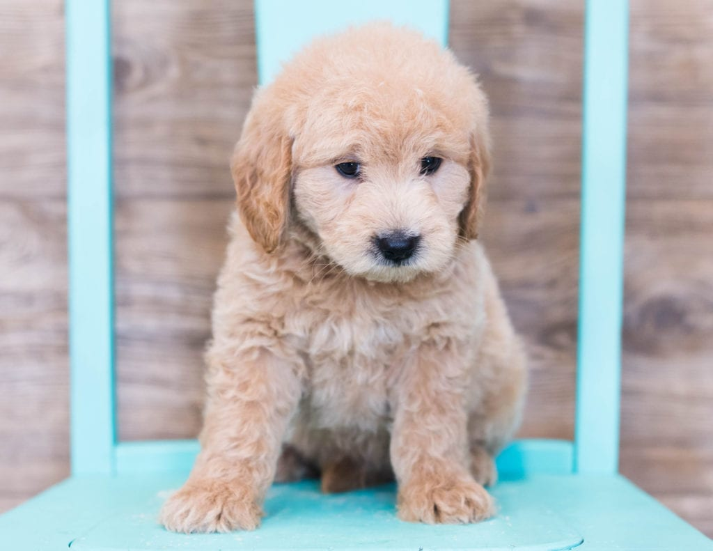 Otis is an F1 Goldendoodle that should have  and is currently living in Philadelphia