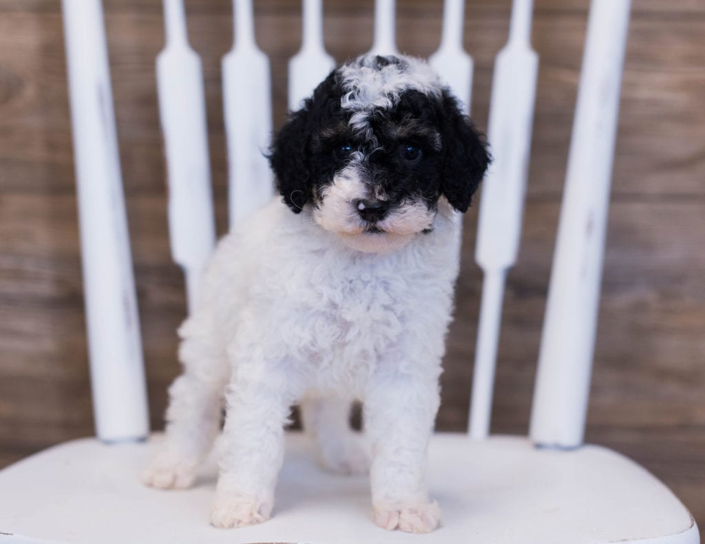 Petite Poodles with hypoallergenic fur due to the Poodle in their genes. These Poodles are of the  generation. For more info on generations, view our specific breed page for Poodles.