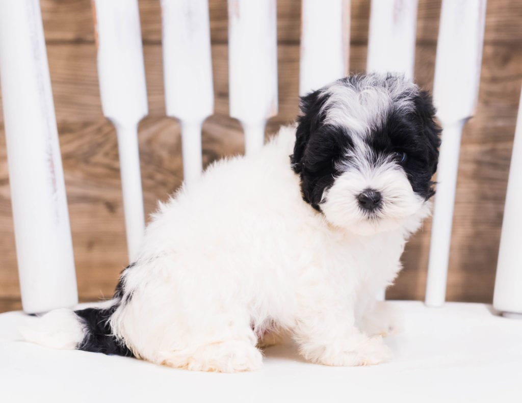 Quena is an F1B Sheepadoodle that should have  and is currently living in Massachusetts