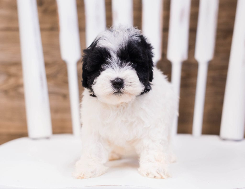A picture of a Quena, one of our Petite Sheepadoodles puppies that went to their home in Massachusetts