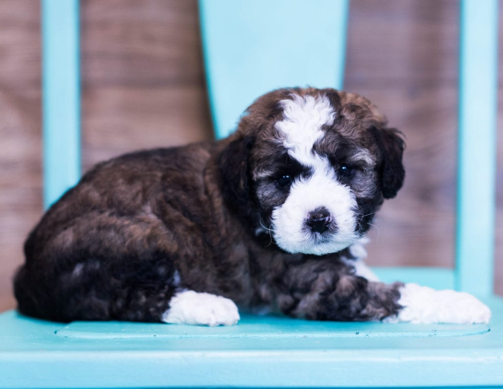 Quester is an F1B Sheepadoodle that should have  and is currently living in New York