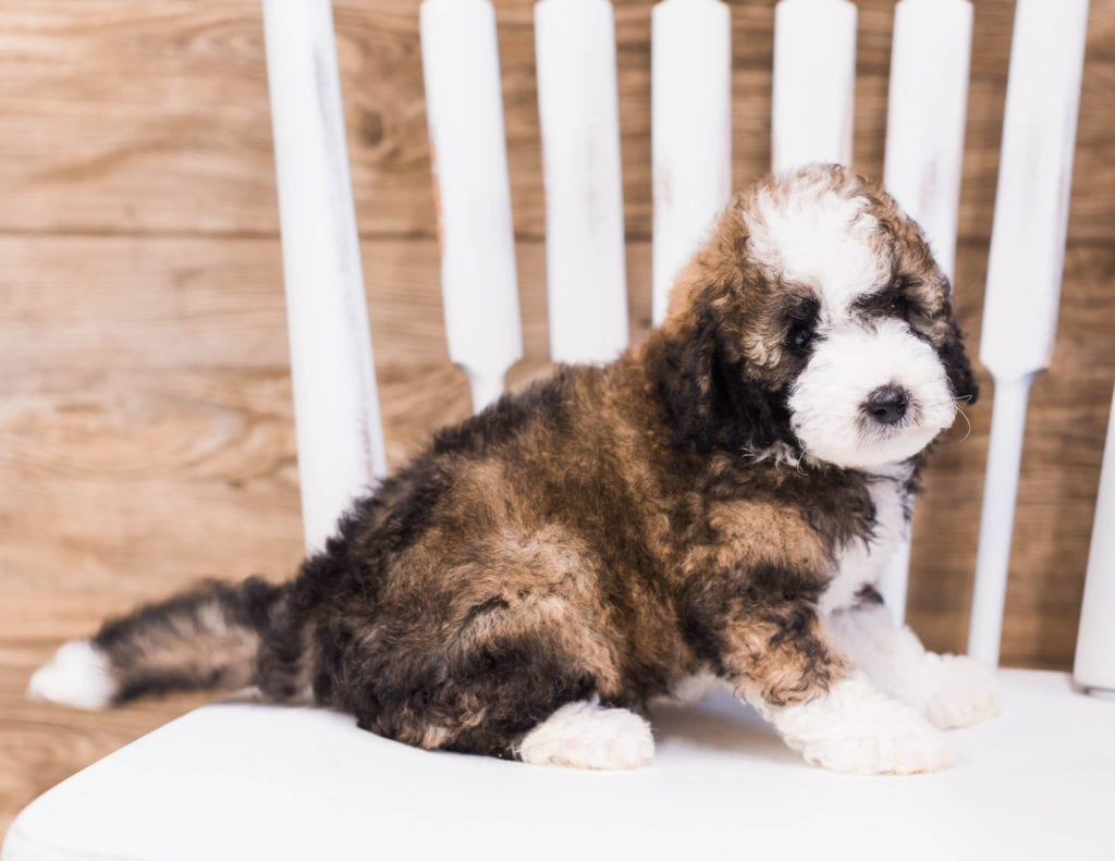 Quester came from Ella and River's litter of F1B Sheepadoodles