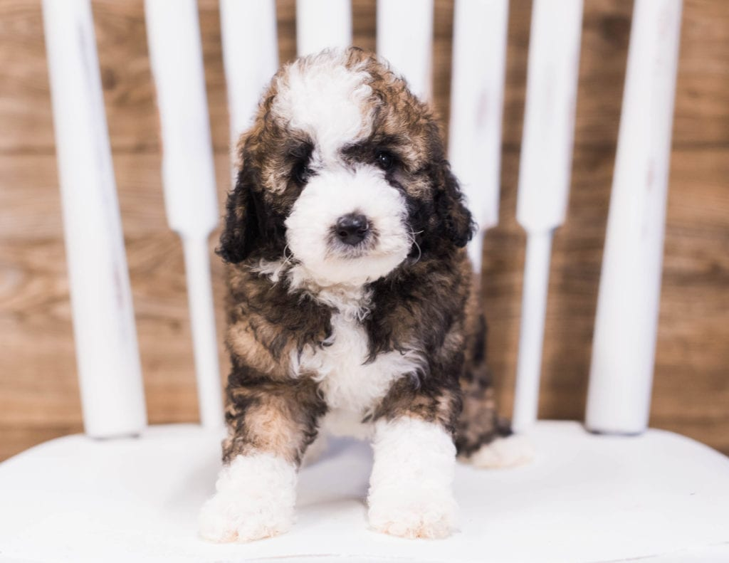 A picture of a Quester, one of our Petite Sheepadoodles puppies that went to their home in New York