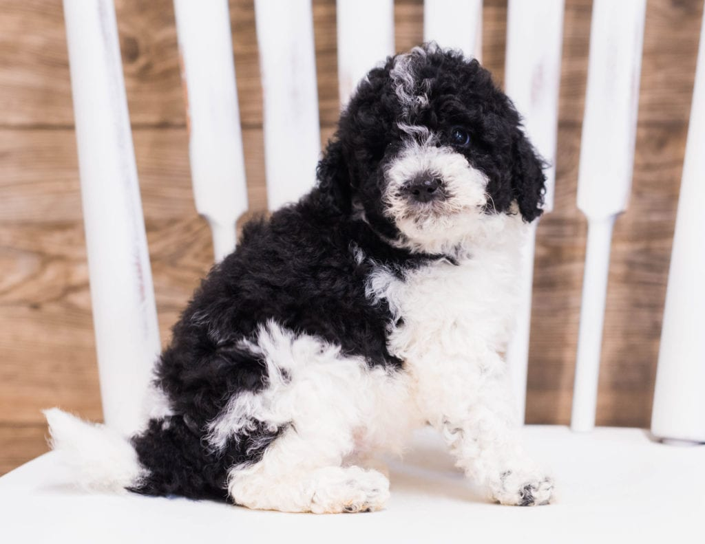 Quincy is an F1B Sheepadoodle that should have  and is currently living in Missouri