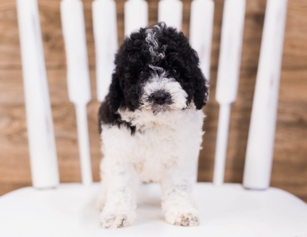 Quincy came from Ella and River's litter of F1B Sheepadoodles