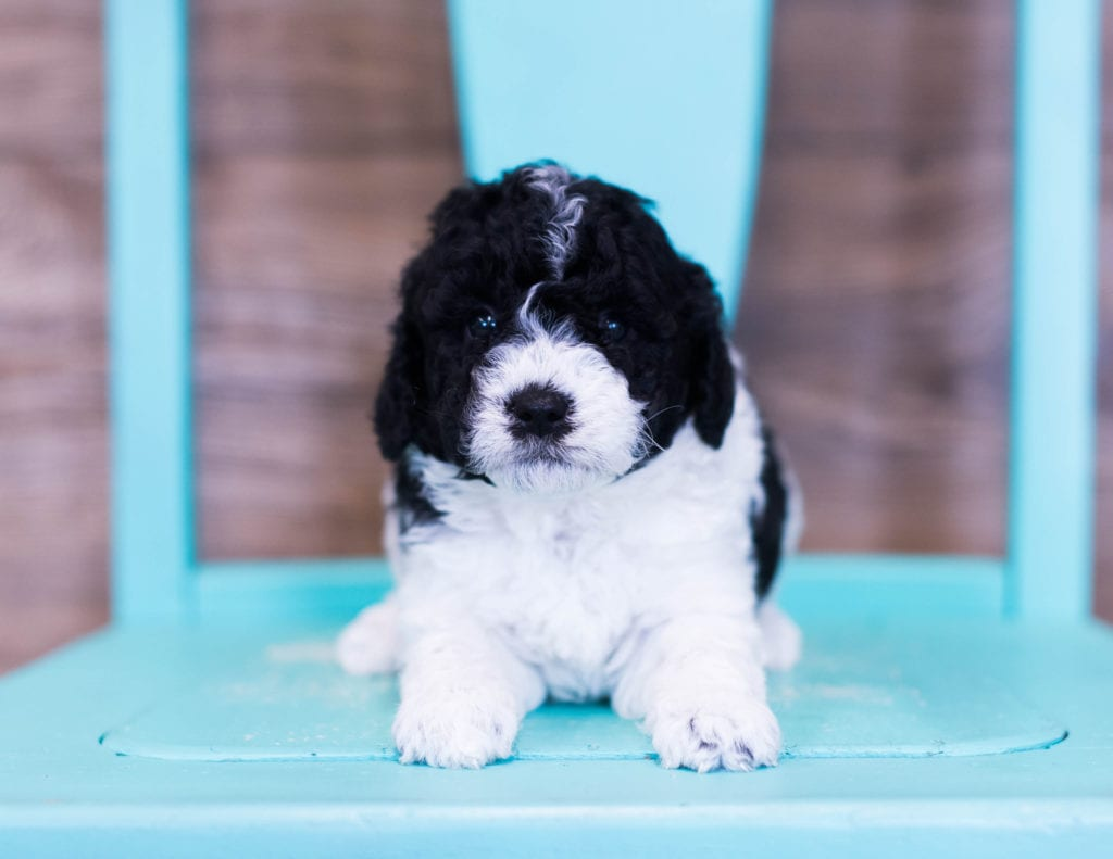 A picture of a Quincy, one of our Petite Sheepadoodles puppies that went to their home in Missouri