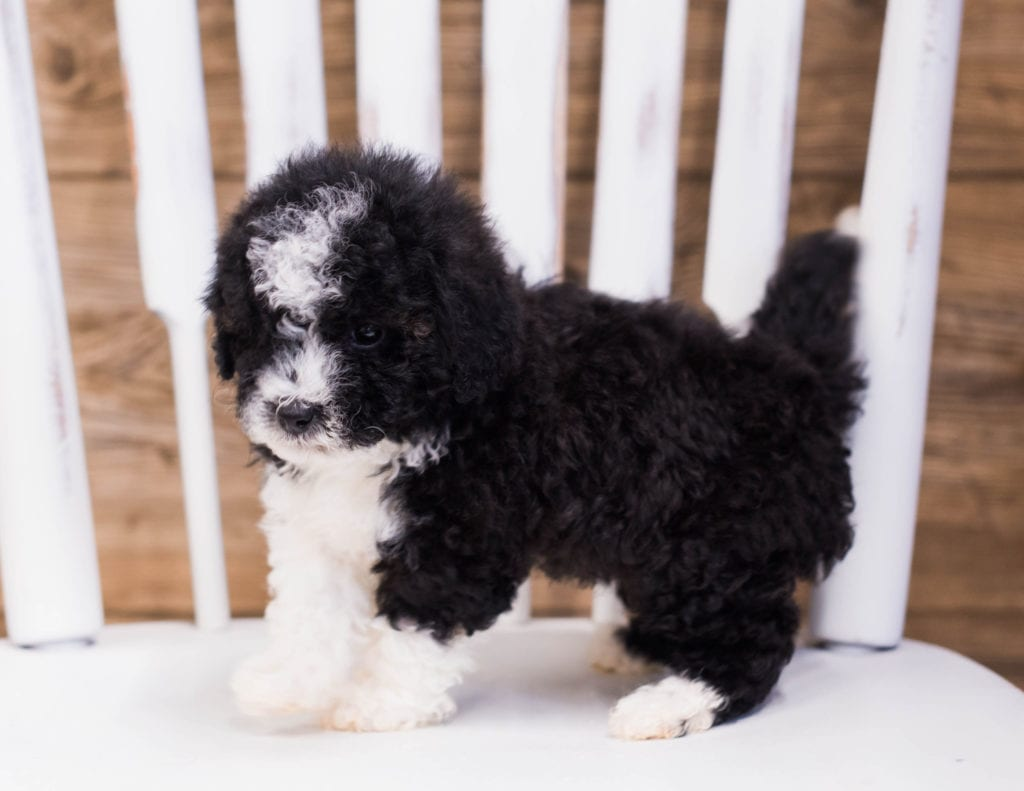Petite Sheepadoodles with hypoallergenic fur due to the Poodle in their genes. These Sheepadoodles are of the F1B generation.