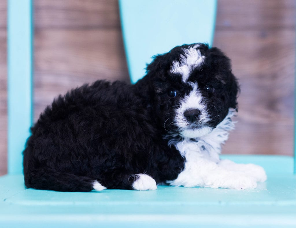 Quinny is an F1B Sheepadoodle that should have  and is currently living in Nebraska