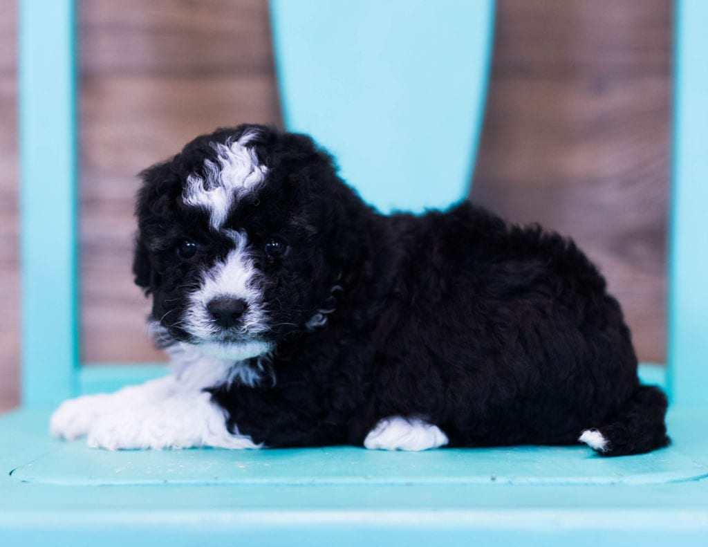 Quinny came from Ella and River's litter of F1B Sheepadoodles