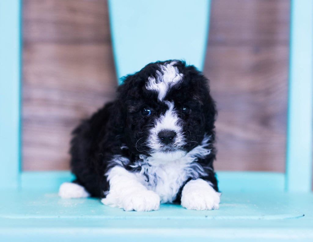 A picture of a Quinny, one of our Petite Sheepadoodles puppies that went to their home in Nebraska