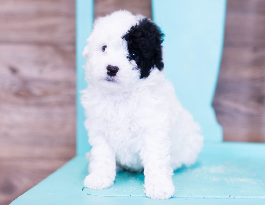 Petite Sheepadoodles with hypoallergenic fur due to the Poodle in their genes. These Sheepadoodles are of the F1B generation. For more info on generations, view our specific breed page for Sheepadoodles.