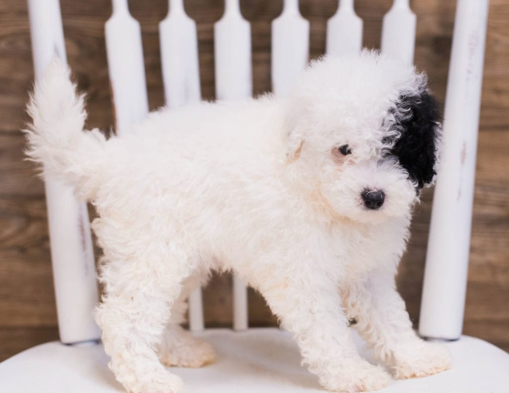 A picture of a Quira, one of our Petite Sheepadoodles puppies that went to their home in New Jersey
