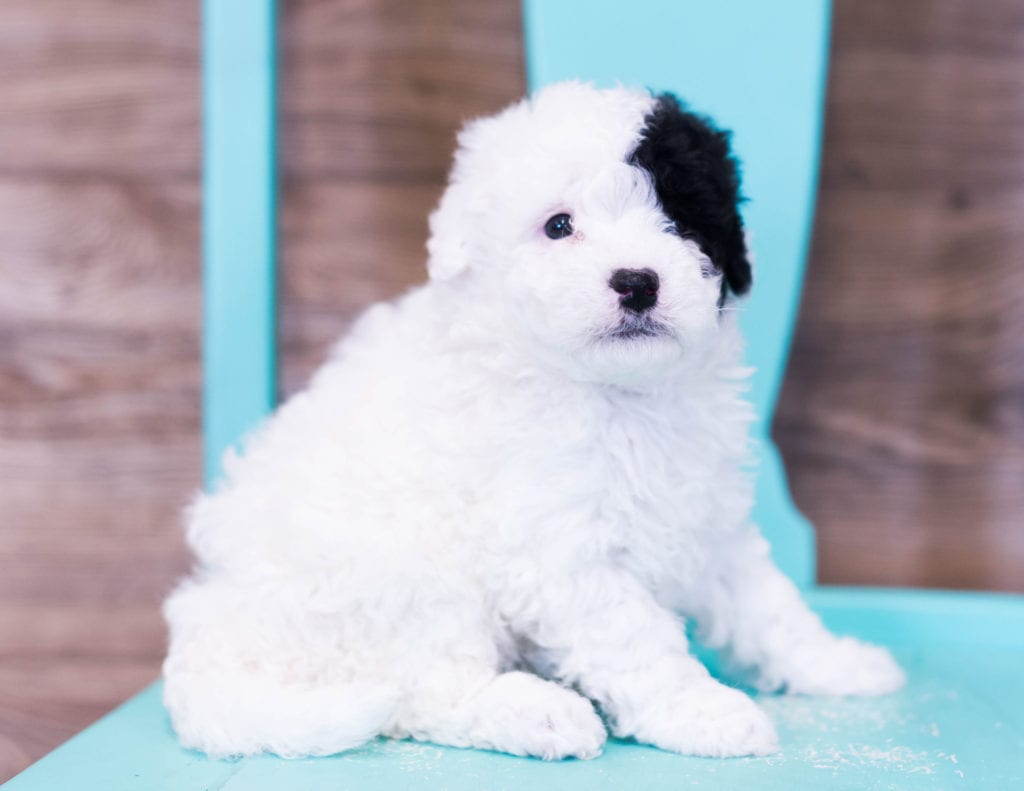 Quira is an F1B Sheepadoodle that should have  and is currently living in New Jersey