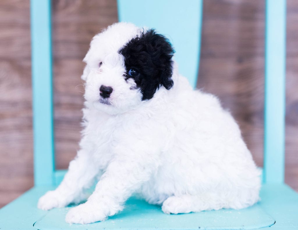 Quira came from Ella and River's litter of F1B Sheepadoodles