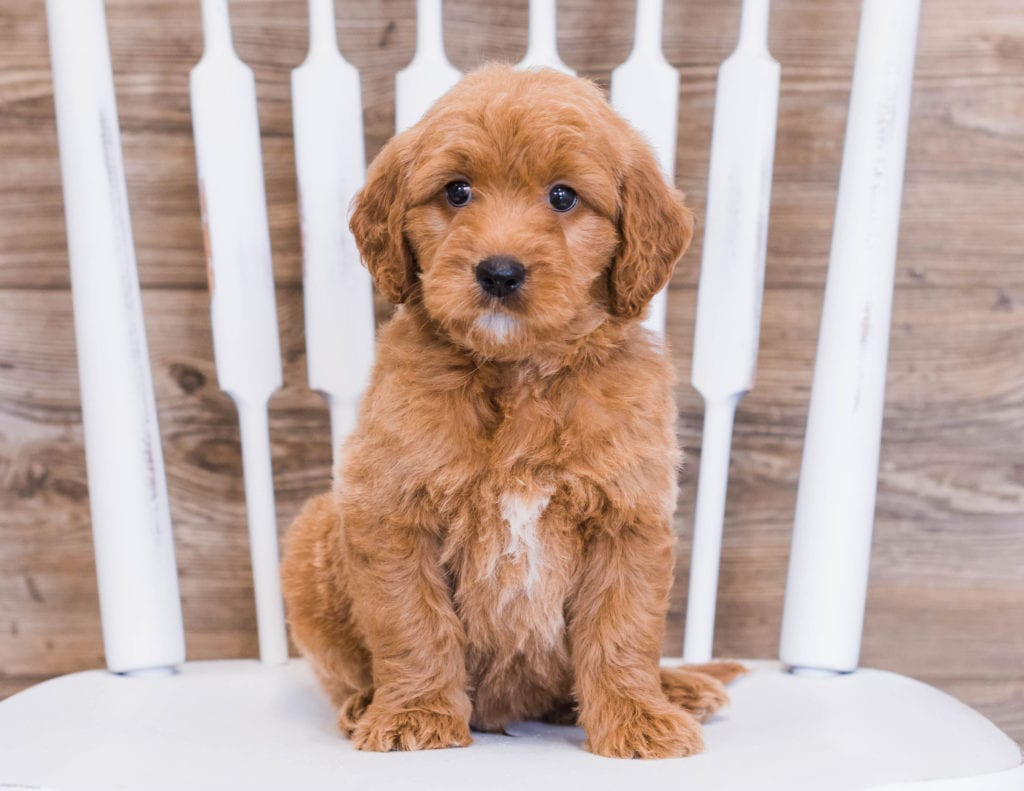 These Goldendoodles were bred by Poodles 2 Doodles, their mother is Jazzy and their father is Rugar